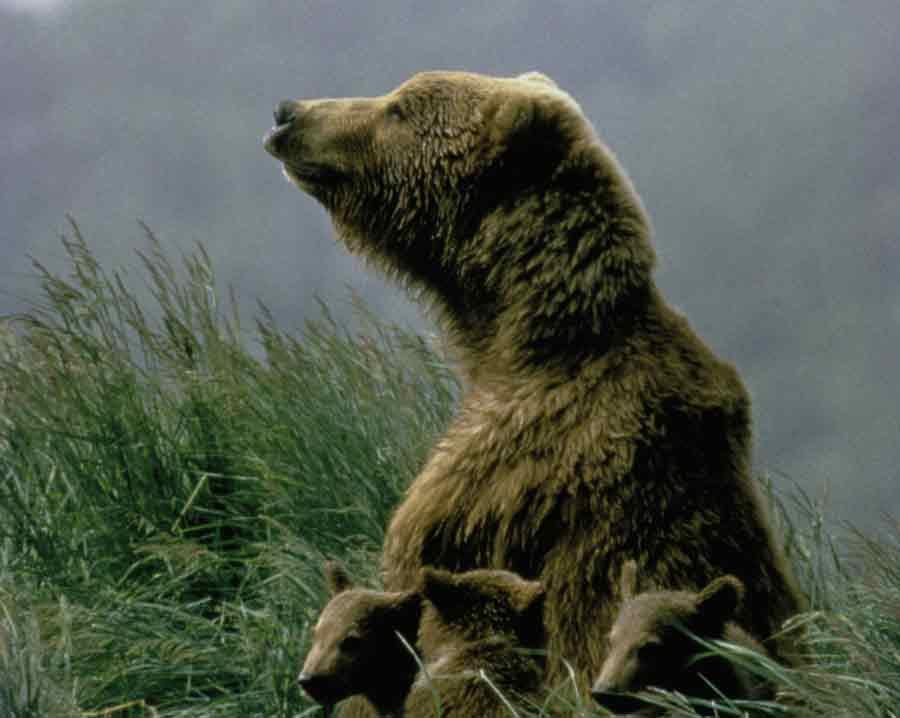 Kodiak_Bear_cow_with_cubs